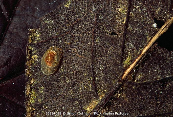 Lake limpet (Acroloxus lacustris) on decomposing leaf, underwater, Sussex, UK  -  Simon Colmer/ npl