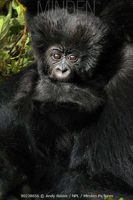 Portrait of a Mountain Gorilla (Gorilla beringei) infant clinging to adult Rwanda, Africa  -  Andy Rouse/ npl