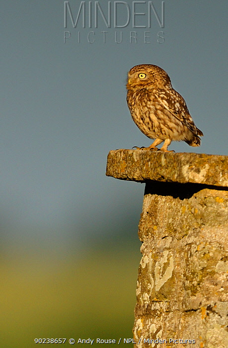 Little Owl (Athene noctua) on stone roof of a farm Wales, UK, June  -  Andy Rouse/ npl
