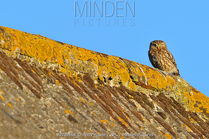 Little Owl (Athene noctua) on tiled roof of a farm Wales, UK, June  -  Andy Rouse/ npl