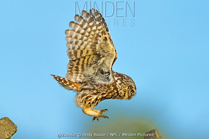 Little Owl (Athene noctua) in hovering flight prior to landing Wales, UK, June  -  Andy Rouse/ npl