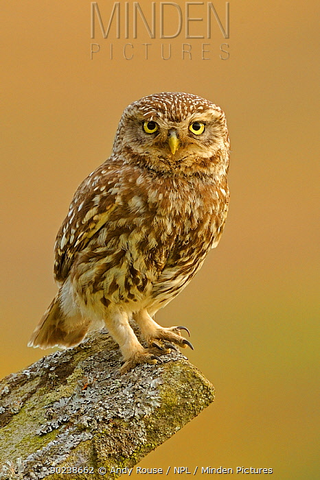 Portrait of a Little Owl (Athene noctua) on stone wall Wales, UK, July  -  Andy Rouse/ npl