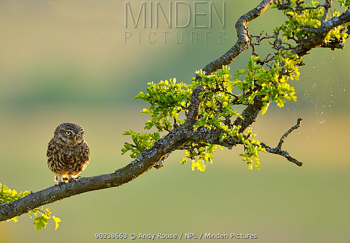 Little Owl (Athene noctua) perched on an Oak (Quercus) branch Wales, UK, July  -  Andy Rouse/ npl