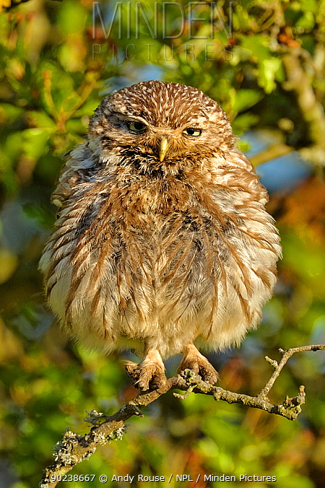 Little Owl (Athene noctua) young owlet perched in Oak (Quercus) branches Wales, UK, July  -  Andy Rouse/ npl