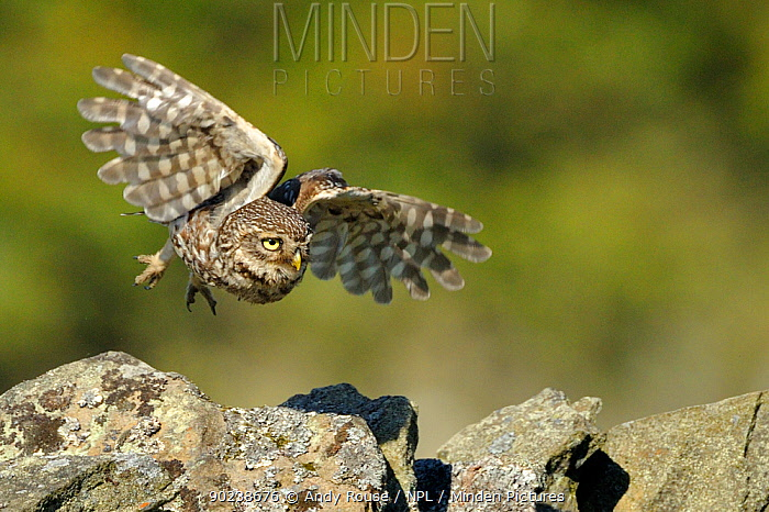 Little Owl (Athene noctua) taking off from stone wall Wales, UK, June  -  Andy Rouse/ npl