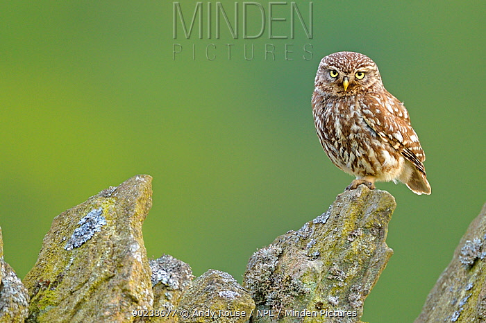 Little Owl (Athene noctua) perched on a stone wall Wales, UK, June  -  Andy Rouse/ npl