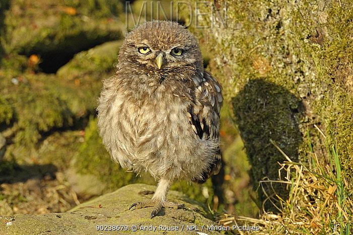 Portrait of a young Little Owl (Athene noctua) Wales, UK, June  -  Andy Rouse/ npl