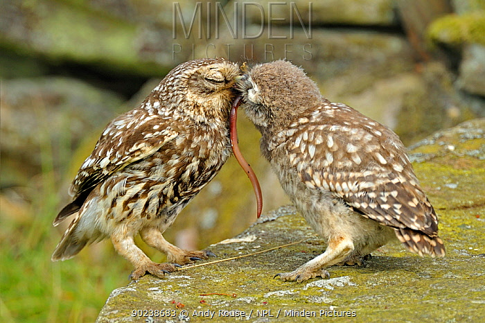 Little Owl (Athene noctua) parent feeding a worm to its chick Wales, UK, June (non-ex)  -  Andy Rouse/ npl