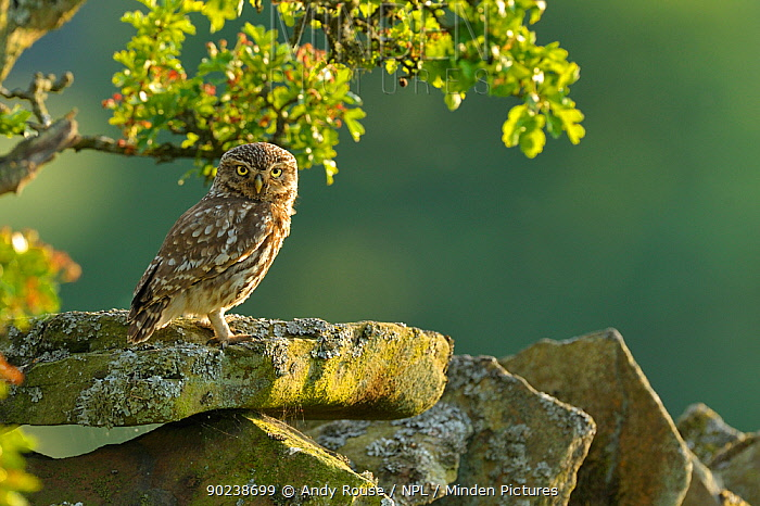 Little Owl (Athene noctua) perched on a stone wall in front of an Oak (Quercus) branch Wales, UK, June  -  Andy Rouse/ npl