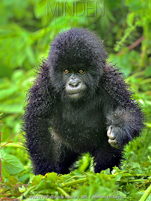 Portrait of a Mountain Gorilla infant (Gorilla beringei) Rwanda, Africa  -  Andy Rouse/ npl