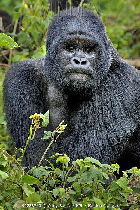 Portrait of a male Mountain Gorilla (Gorilla beringei) Rwanda, Africa  -  Andy Rouse/ npl