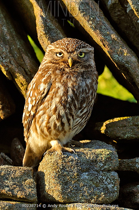 Little Owl (Athene noctua) perched in front of a stone wall Wales, UK, July  -  Andy Rouse/ npl