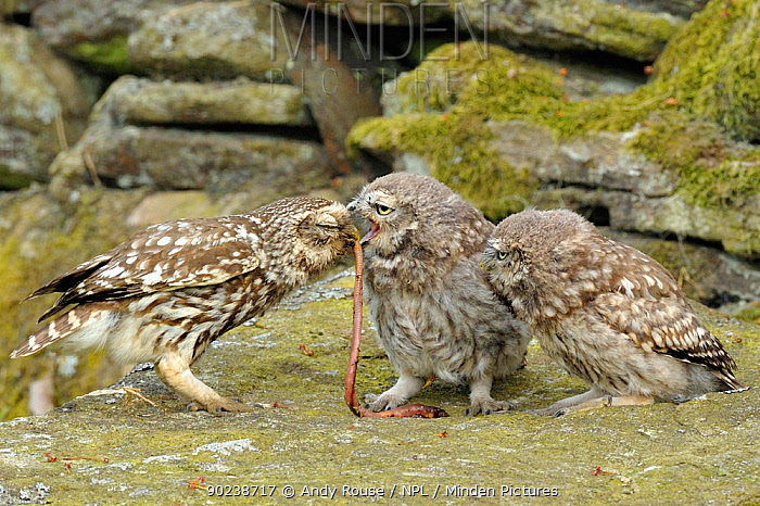 Little Owl (Athene noctua) parent offering a worm to two chicks Wales, UK, June (non-ex)  -  Andy Rouse/ npl