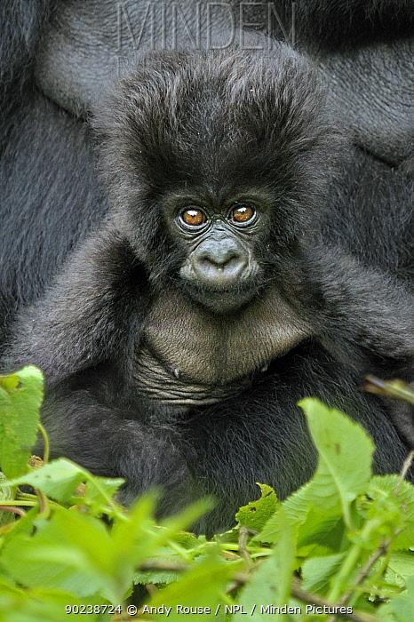 Portrait of a Mountain Gorilla (Gorilla beringei) infant Rwanda, Africa  -  Andy Rouse/ npl