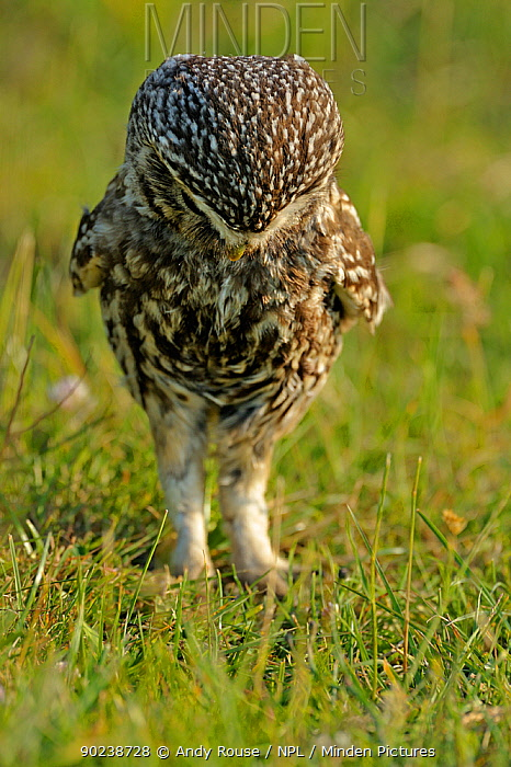 Little Owl (Athene noctua) adult looking for worms Wales, UK, June (non-ex)  -  Andy Rouse/ npl