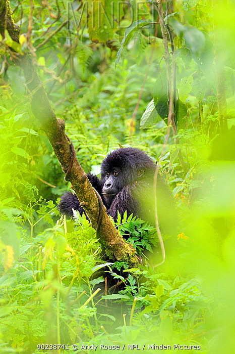 Mountain Gorilla (Gorilla beringei) in habitat seen through leaves Rwanda, Africa  -  Andy Rouse/ npl