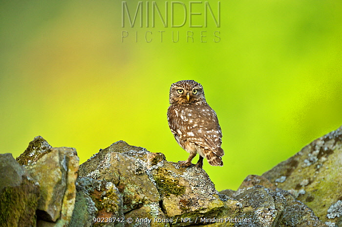 Little Owl (Athene noctua) perched on stone wall Wales, UK, June  -  Andy Rouse/ npl