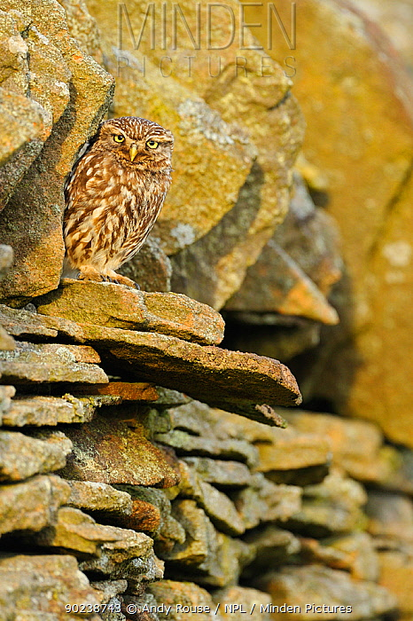 Little Owl (Athene noctua) perched in a stone wall Wales, UK, June  -  Andy Rouse/ npl