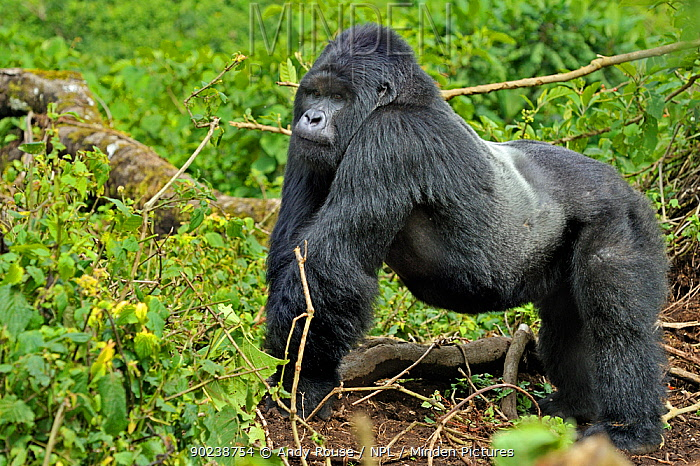 Silverback dominant male Mountain Gorilla (Gorilla beringei) in habitat Rwanda, Africa  -  Andy Rouse/ npl