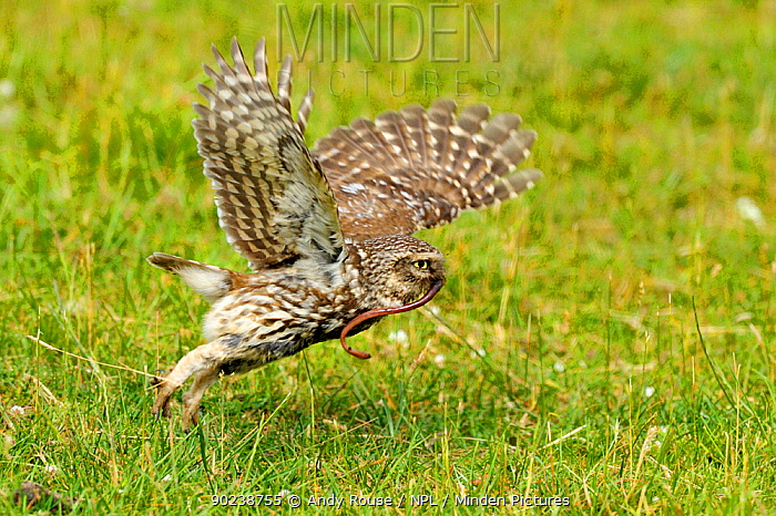 Little Owl (Athene noctua) taking off with a worm in its beak Wales, UK, June  -  Andy Rouse/ npl