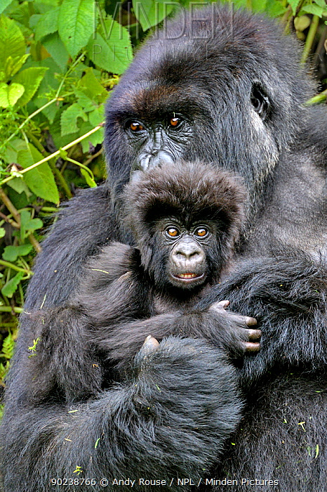 Mountain Gorilla (Gorilla beringei) adult holding infant close to her Rwanda, Africa  -  Andy Rouse/ npl