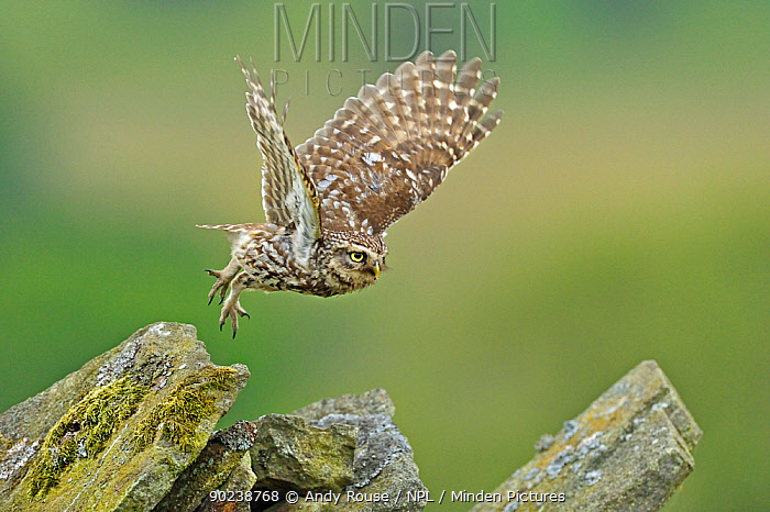 Little Owl (Athene noctua) taking flight from stone wall Wales, UK, June  -  Andy Rouse/ npl