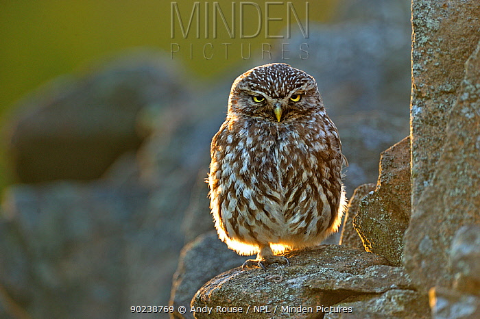 Little Owl (Athene noctua) perched on a stone wall Wales, UK, July  -  Andy Rouse/ npl