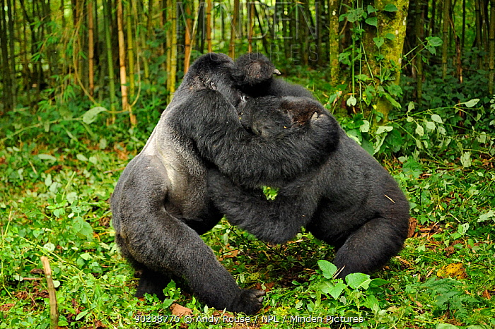A silverback dominant male Mountain Gorilla  -  Andy Rouse/ npl