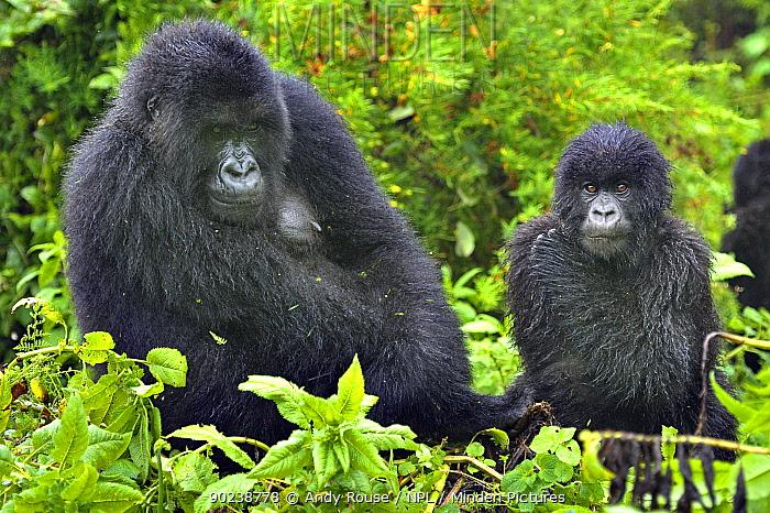 Mountain Gorilla (Gorilla beringei) adult and juvenile Rwanda, Africa  -  Andy Rouse/ npl