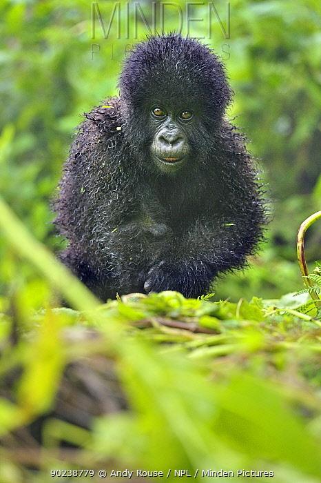 Portrait of a young Mountain Gorilla (Gorilla beringei) Rwanda, Africa  -  Andy Rouse/ npl