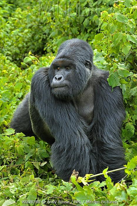 Mountain Gorilla (Gorilla beringei) male in habitat Rwanda, Africa  -  Andy Rouse/ npl