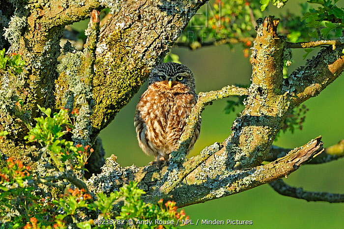 Little Owl (Athene noctua) camouflaged on an Oak (Quercus) branch Wales, UK, June  -  Andy Rouse/ npl