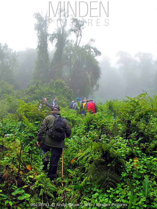 A group of people gorilla trekking in misty forest Virunga Volcanoes National Park, Rwanda, Africa, March  -  Andy Rouse/ npl