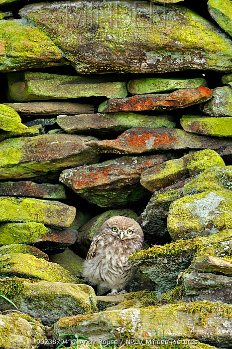 Little Owl (Athene noctua) young owlet in nest hole in stone wall Wales, UK, June  -  Andy Rouse/ npl