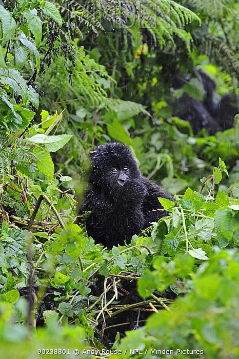 Young Mountain Gorilla (Gorilla beringei) in forest habitat Rwanda, Africa, February  -  Andy Rouse/ npl