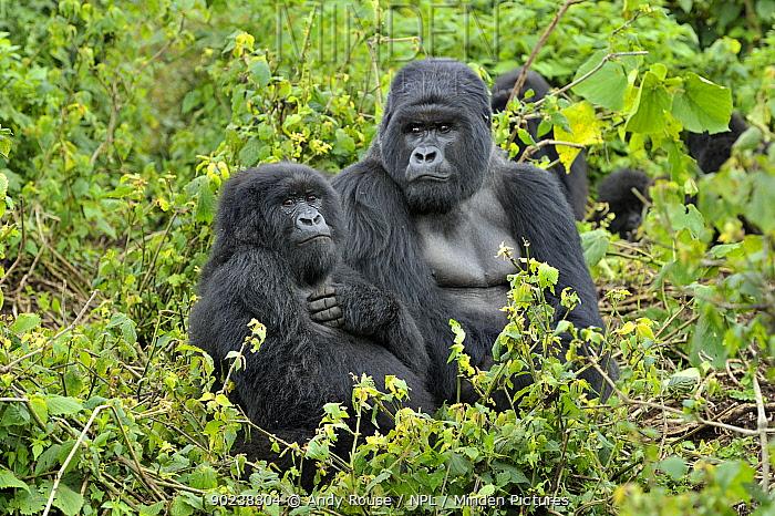 Mountain Gorillas (Gorilla beringei) in habitat Rwanda, Africa, March  -  Andy Rouse/ npl