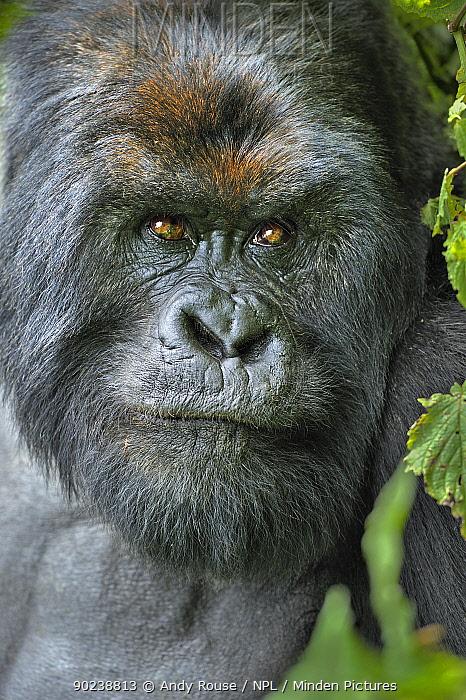 Portrait of a Mountain Gorilla (Gorilla beringei) Rwanda, Africa  -  Andy Rouse/ npl