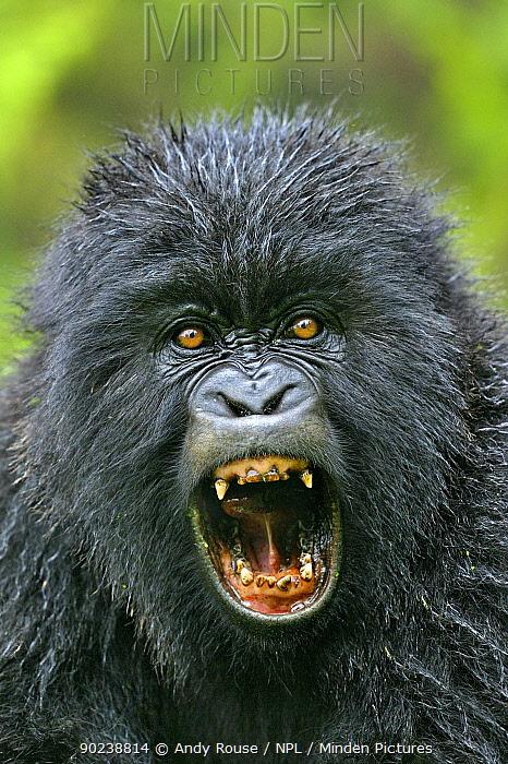Portrait of a Mountain Gorilla (Gorilla beringei)  -  Andy Rouse/ npl