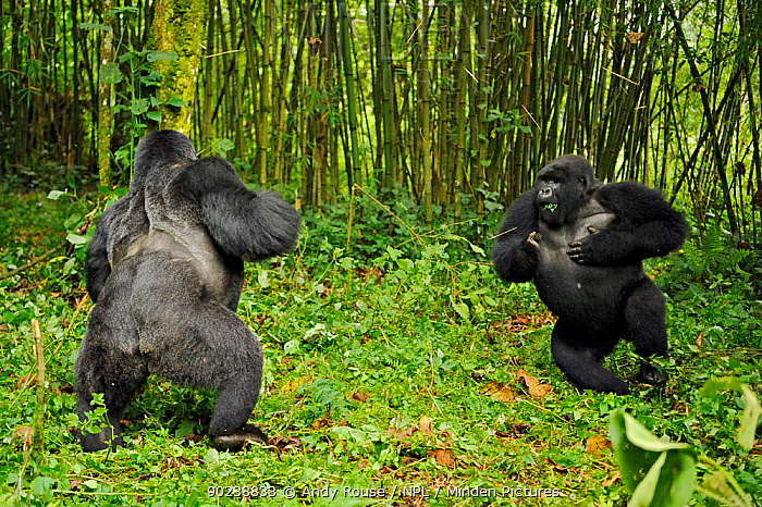 Two male Mountain Gorilla (Gorilla beringei) facing up and chest-beating in a dominance, hierarchy behaviour Rwanda, Africa  -  Andy Rouse/ npl