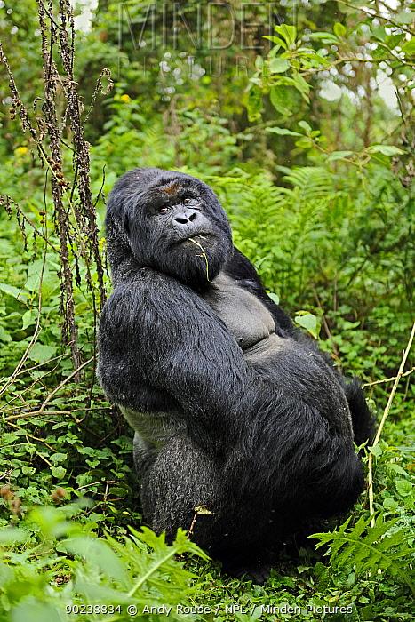 Mountain Gorilla (Gorilla beringei) adult sitting in forest Rwanda, Africa  -  Andy Rouse/ npl