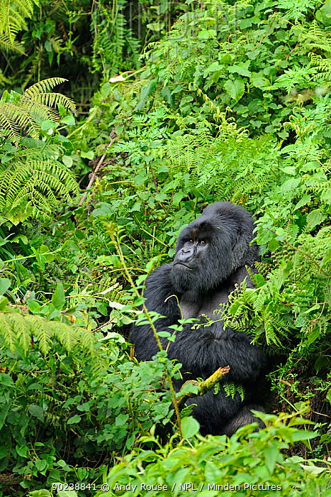 Mountain Gorilla (Gorilla beringei) in dense vegetation, Rwanda, Africa  -  Andy Rouse/ npl