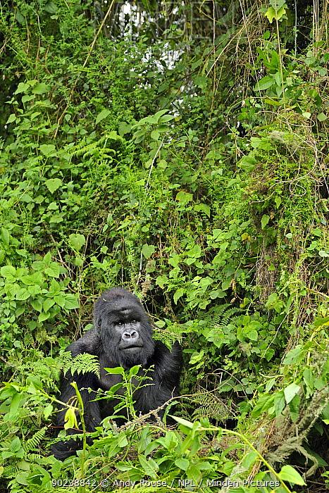 Mountain Gorilla (Gorilla beringei) in thick forest vegetation Rwanda, Africa  -  Andy Rouse/ npl