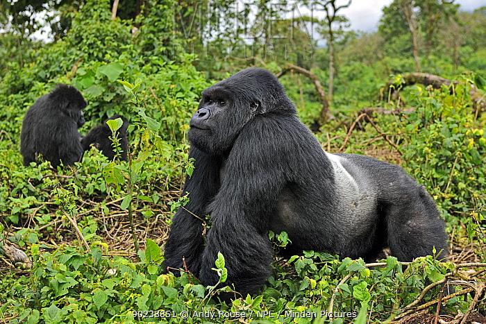 Silverback dominant male Mountain Gorilla  -  Andy Rouse/ npl