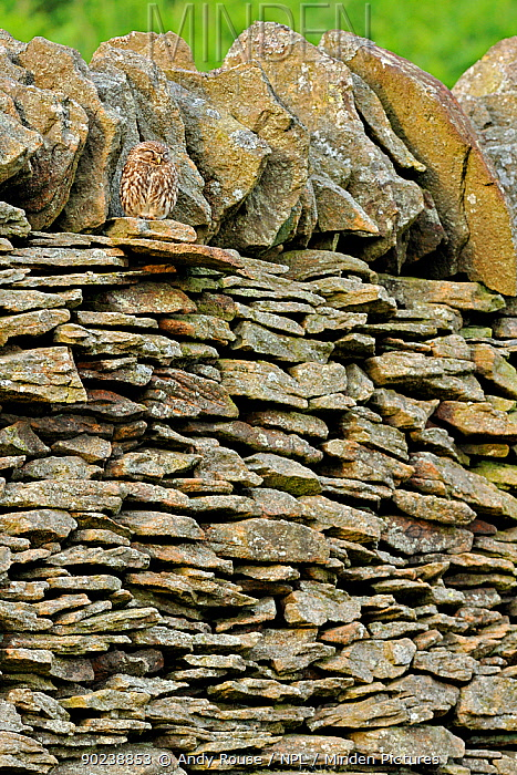 Little Owl (Athene noctua) sleeping camouflaged against a stone wall Wales, UK, June  -  Andy Rouse/ npl