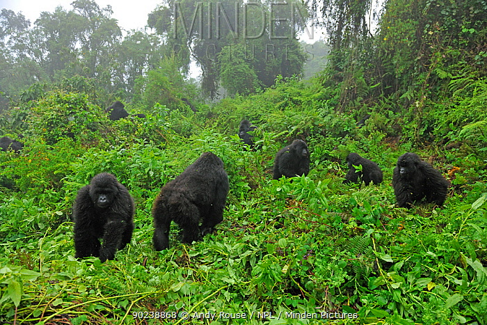 Mountain Gorilla family group (Gorilla beringei) in a forest clearing Rwanda, Africa, March  -  Andy Rouse/ npl