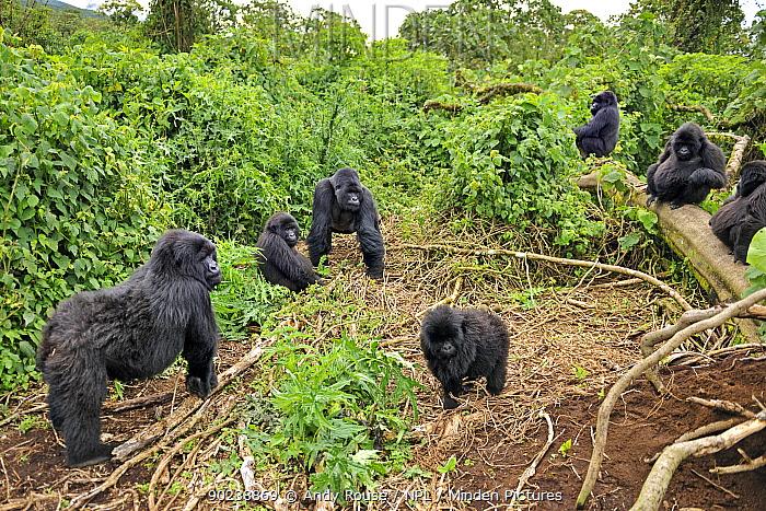 Mountain Gorilla (Gorilla beringei) family group in habitat Rwanda, Africa  -  Andy Rouse/ npl