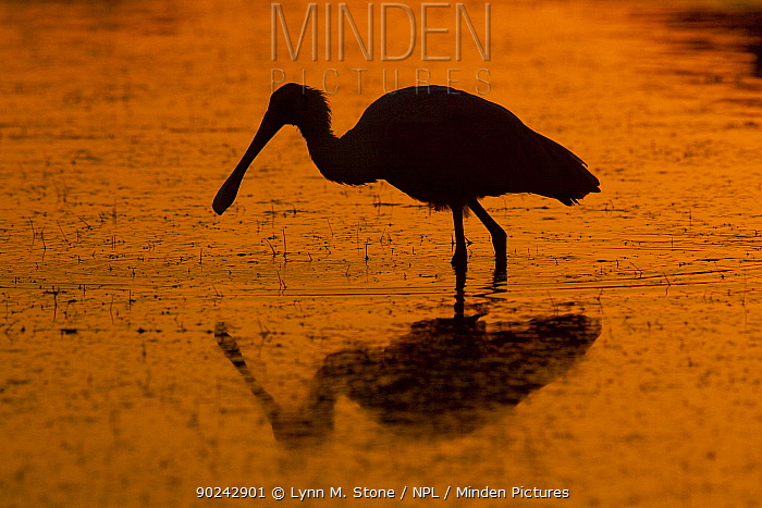 Roseate Spoonbill (Platalea, Ajaia ajaja) wading silhouetted against dawn light Dunedin, Florida, USA, November  -  Lynn M. Stone/ npl