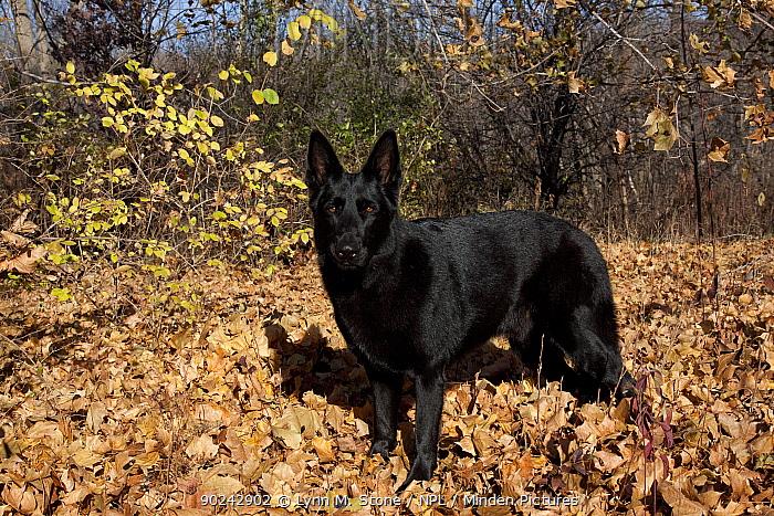 German Shepherd, a black male, standing in fallen maple leaves St Charles, Illinois, USA, November  -  Lynn M. Stone/ npl