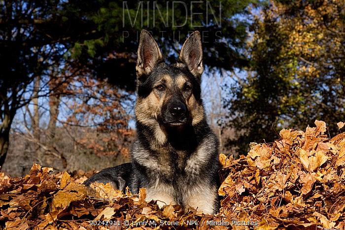 German Shepherd, sable colored female, lying in fallen maple leaves St Charles, Illinois, USA, November  -  Lynn M. Stone/ npl