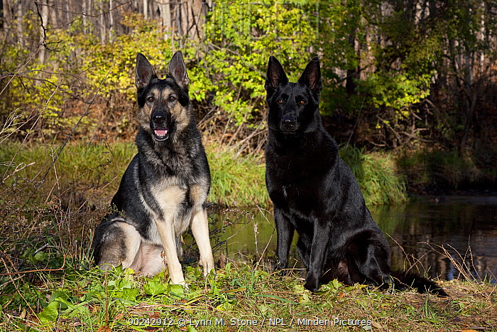Pair of German Shepherd Dogs, sable-colored female and black male sitting by a stream St Charles, Illinois, USA, November  -  Lynn M. Stone/ npl